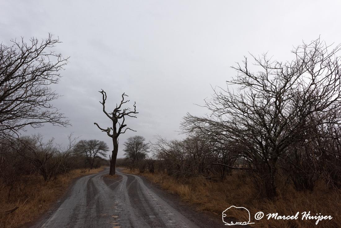 Dead tree, road split, near Crocodile Bridge, Kruger National Pa