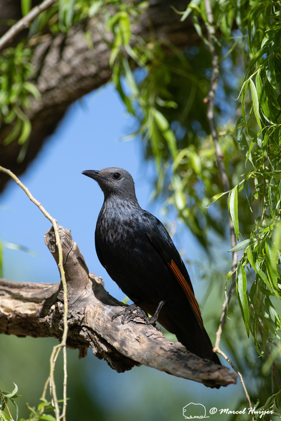 Red-winged starling (Onychognathus morio), Golden Gate Highlands