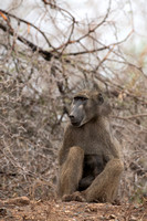 Chacma baboon (Papio ursinus), Kruger National Park, South Afric