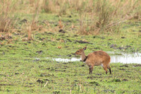 Cape bushbuck (Tragelaphus sylvaticus), Kruger National Park, So