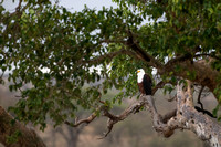 African fish eagle (Haliaeetus vocifer), Kruger National Park, S