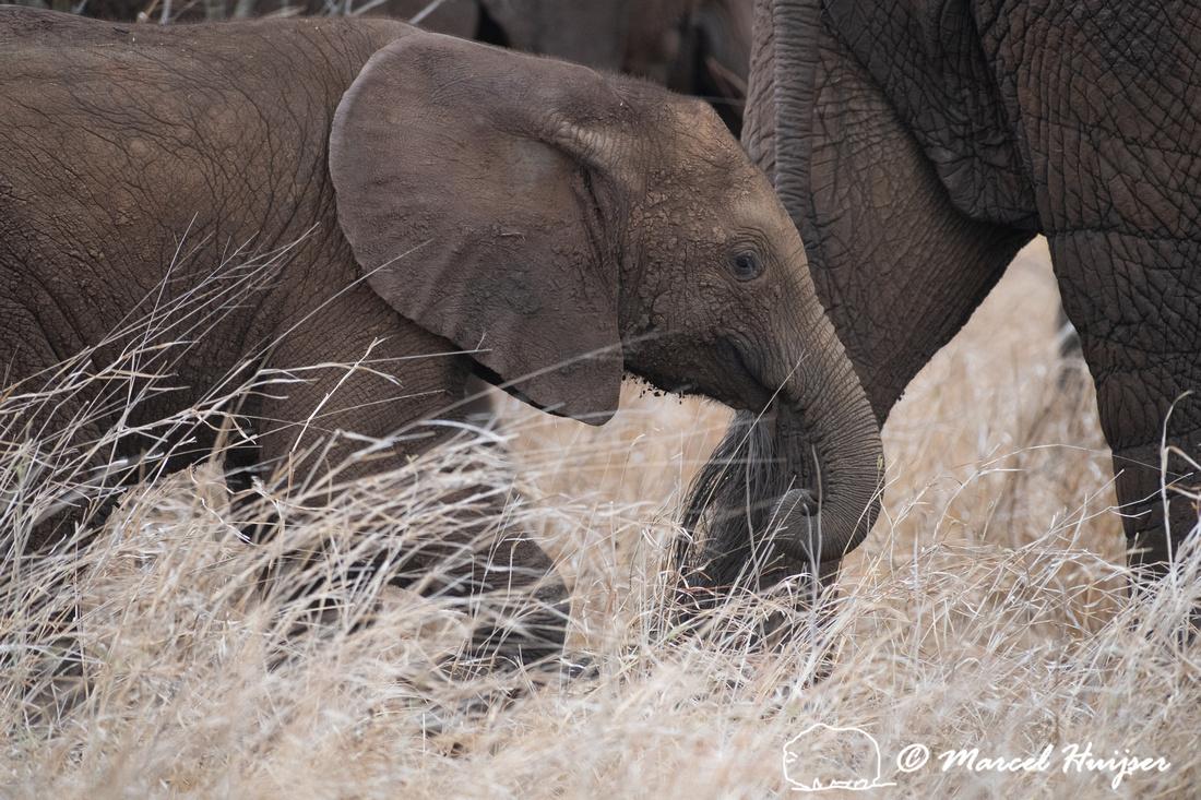 African bush elephant (Loxodonta africana), Kruger National Park