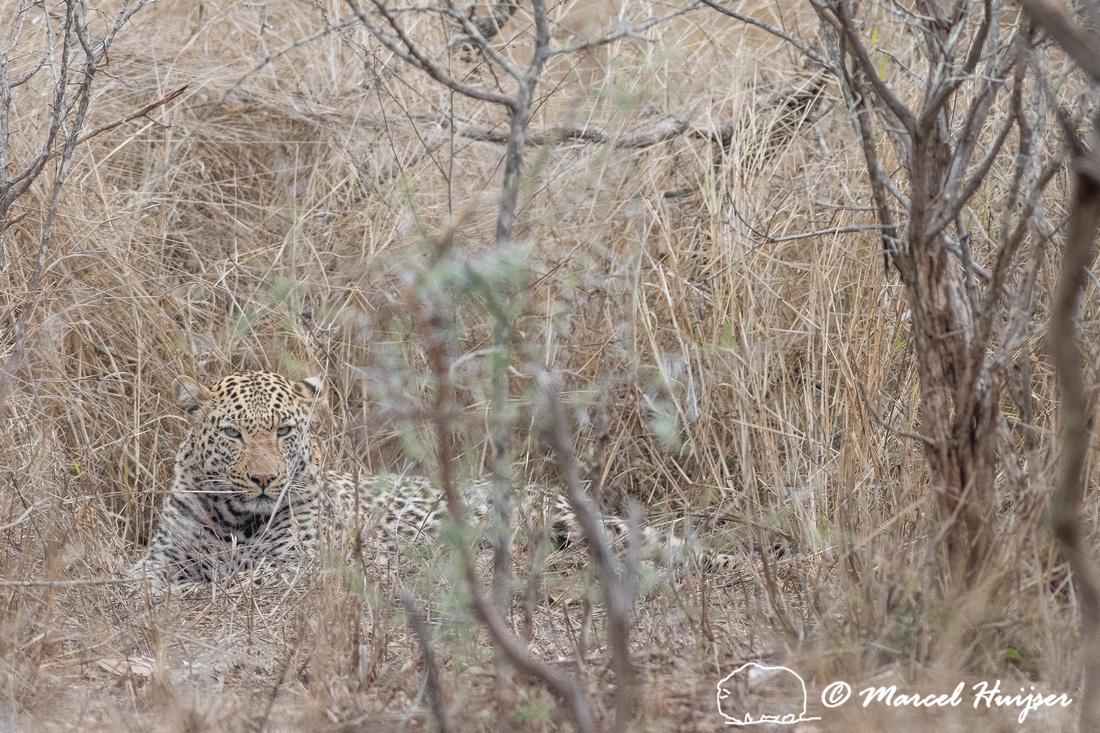 African leopard (Panthera pardus pardus) , Kruger National Park,
