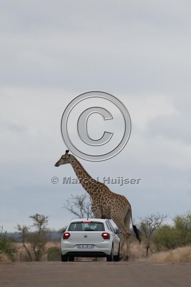 South African giraffe (Giraffa camelopardalis giraffa), Kruger N