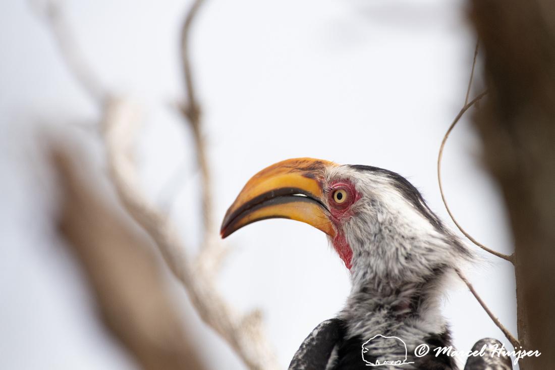 Southern yellow-billed hornbill (Tockus leucomelas), Kruger Nati