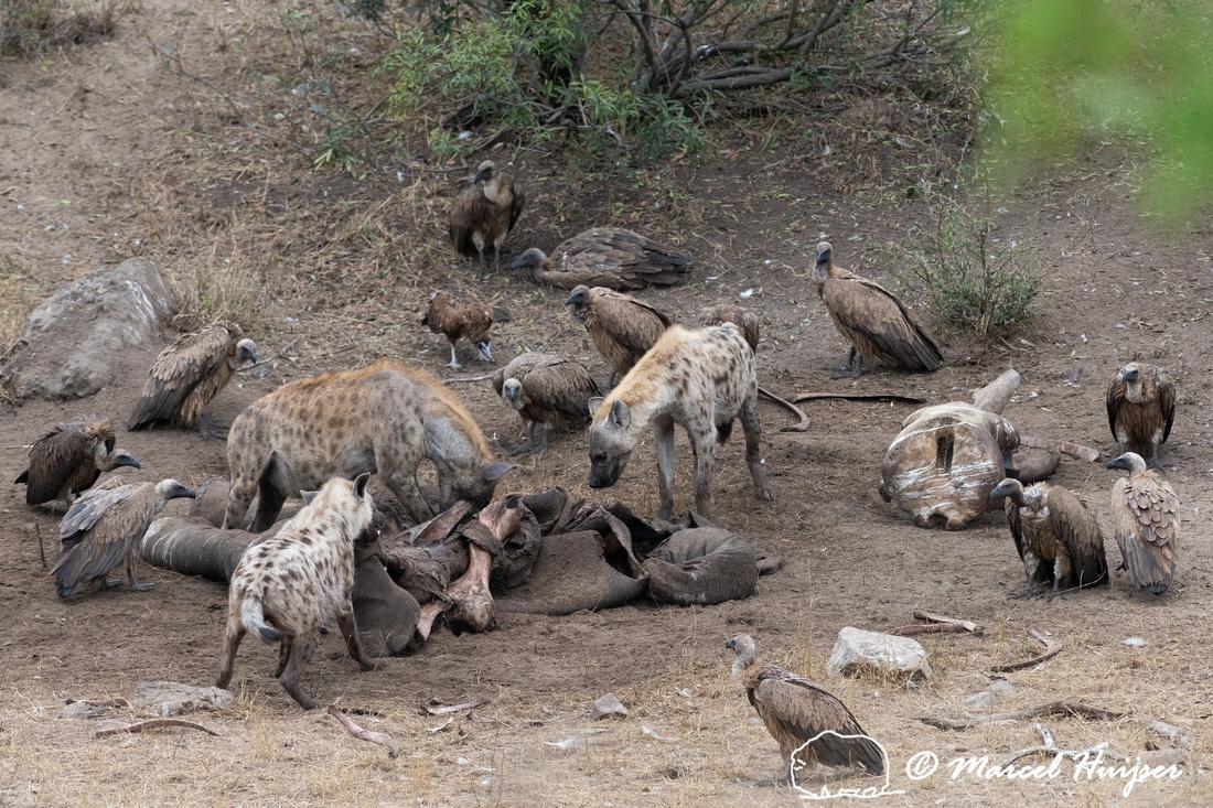Spotted hyena (Crocuta crocuta) on dead elephant, Kruger Nationa