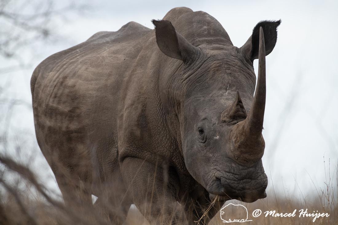 White rhinoceros or square-lipped rhinoceros (Ceratotherium simu