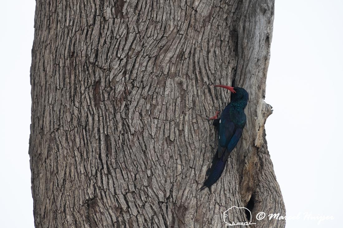 Green wood hoopoe (Phoeniculus purpureus), Kruger National Park,