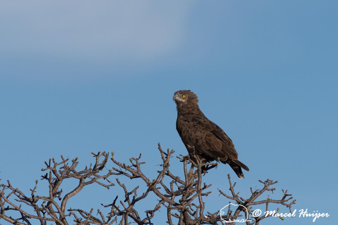 Brown snake eagle (Circaetus cinereus), Kruger National Park, So