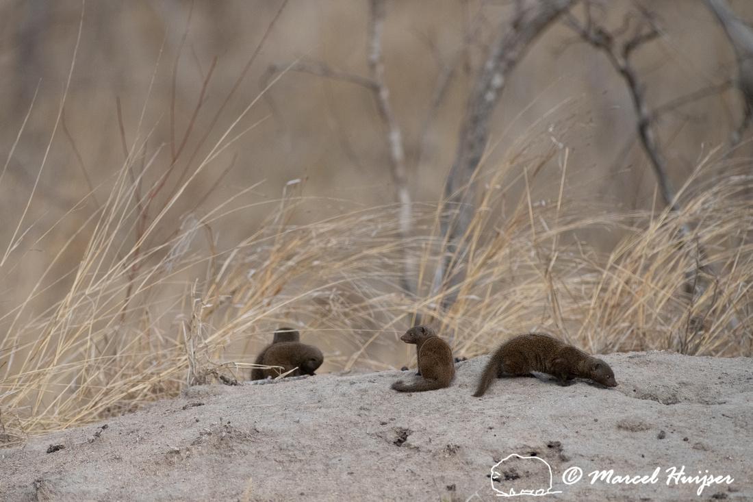 Common dwarf mongoose (Helogale parvula), Kruger National Park,