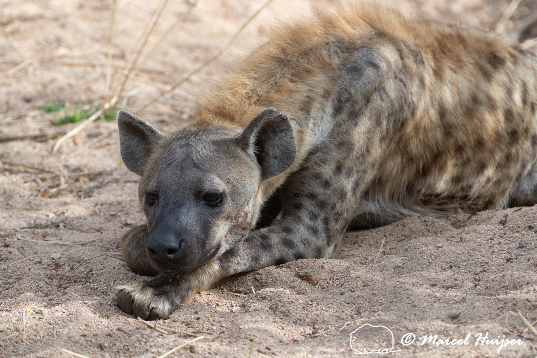Spotted hyena (Crocuta crocuta), Kruger National Park, South Afr