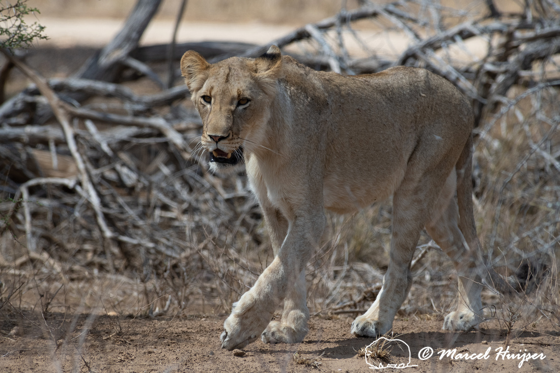 Lion (Panthera leo), Kruger National Park, South Africa