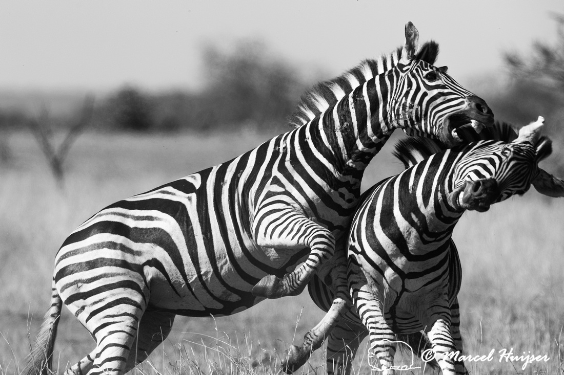 Burchell's zebra (Equus quagga burchellii), a southern subspecie