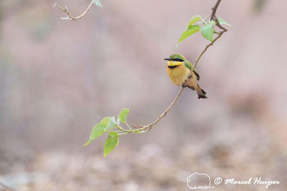 Little bee-eater (Merops pusillus), Kruger National Park, South