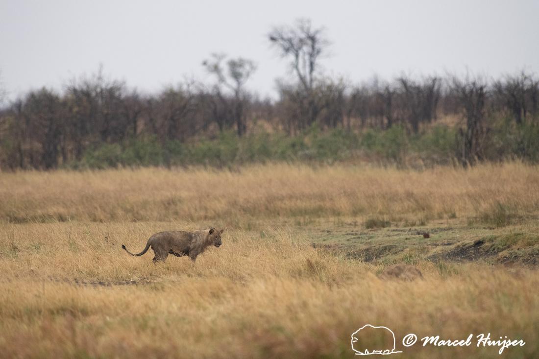 Lions (Panthera leo) on a Cape buffalo (Syncerus caffer) kill, K