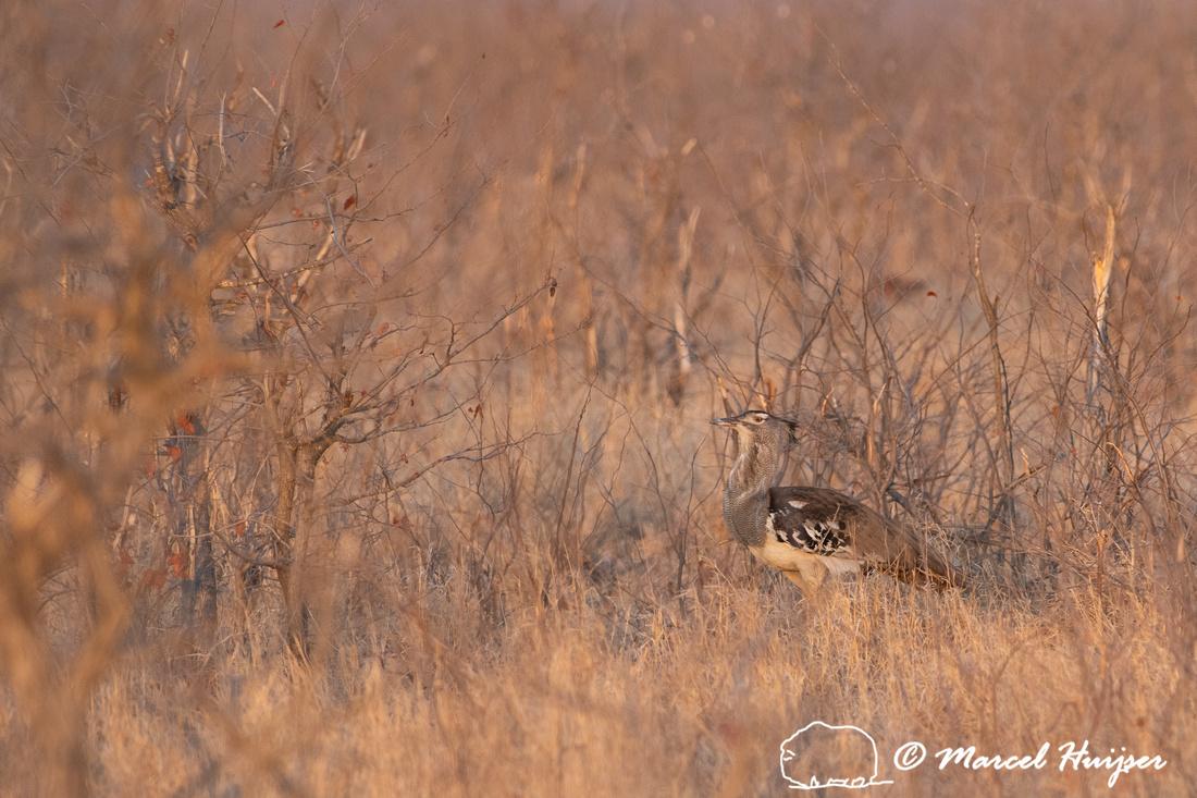 Kori bustard (Ardeotis kori), Kruger National Park, South Africa