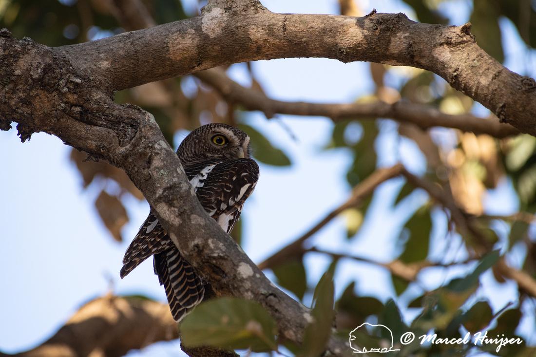 African barred owlet (Glaucidium capense), Kruger National Park,