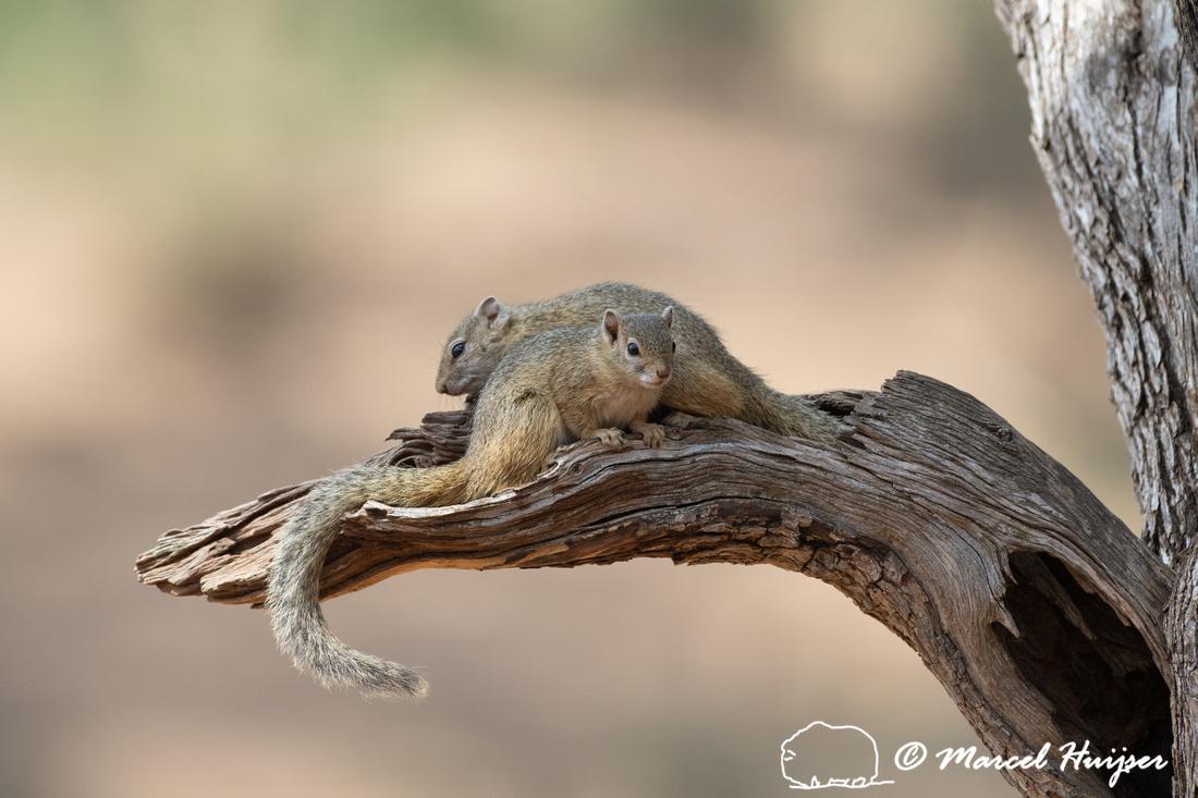 Tree squirrel (Paraxerus cepapi), Kruger National Park, South Af