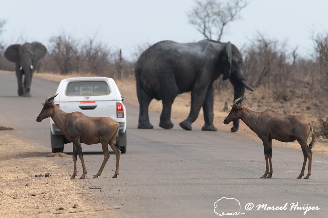 African bush elephant (Loxodonta africana) and common tsessebe (
