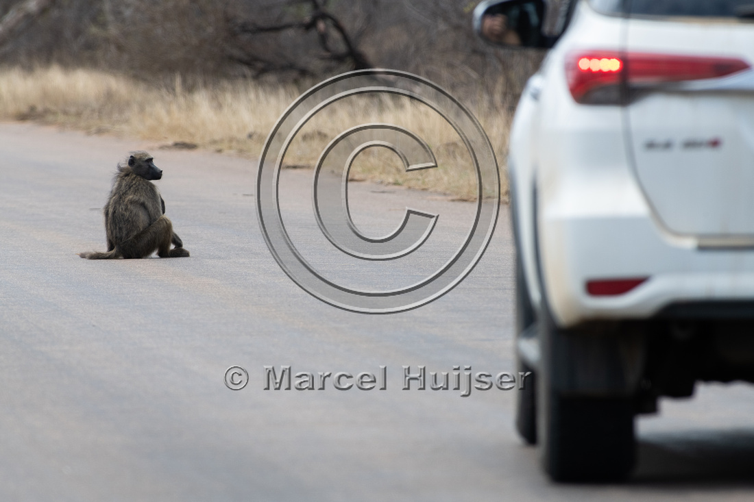 Chacma baboon (Papio ursinus) sits on road, Kruger National Park