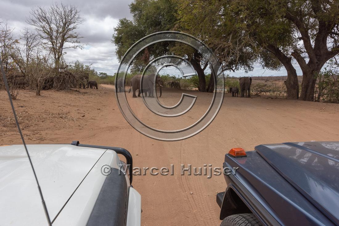 Waiting for African bush elephants (Loxodonta africana), Kruger