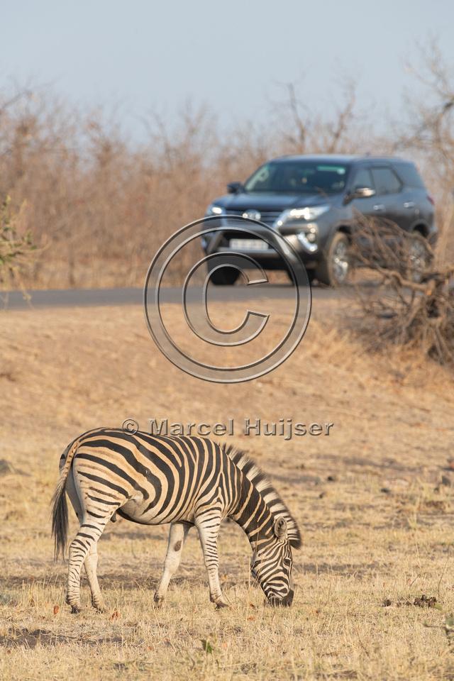 Burchell's zebra (Equus quagga burchellii), Kruger National Park