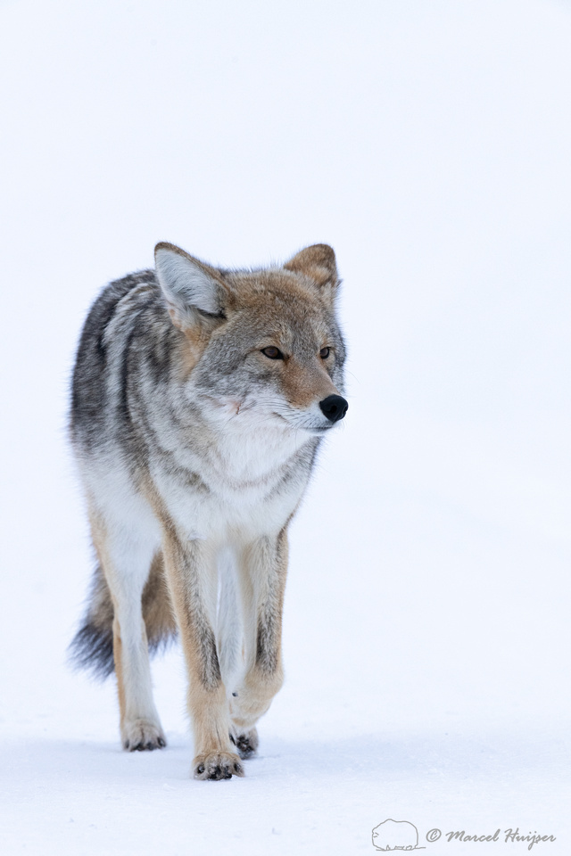 Coyote (Canis latrans) in the snow, Yellowstone National Park, W