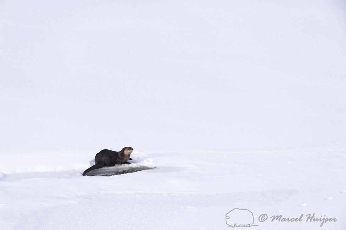 North American river otter (Lontra canadensis), Yellowstone Nati