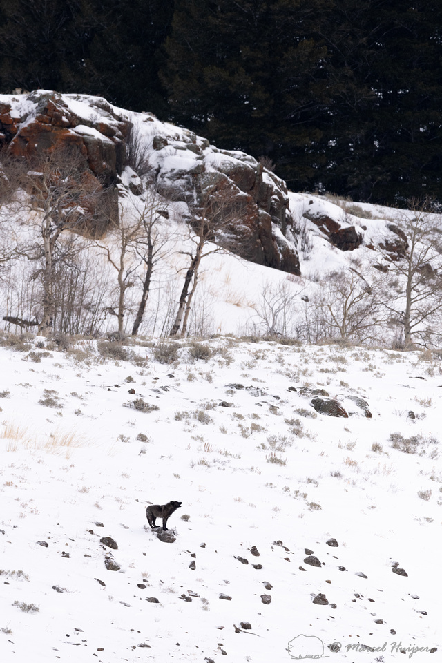 Lost black wolf (member of the Junction Butte pack) howling to m