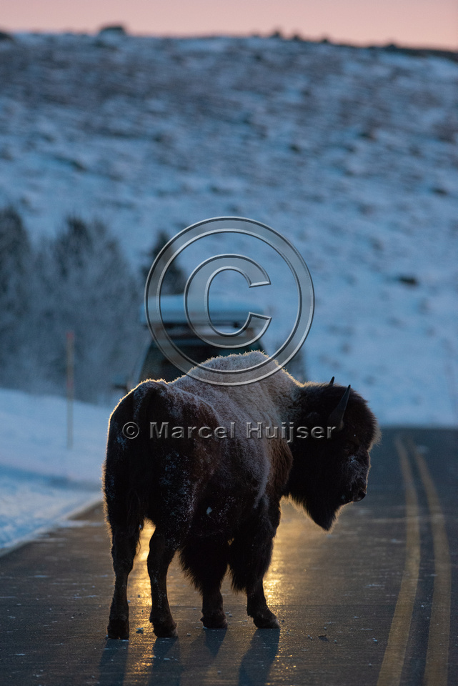 Bison (Bison bison) on the road, Yellowstone National park