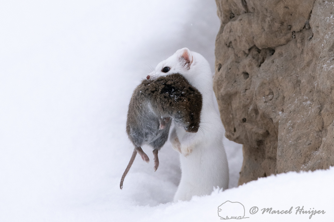 Long-tailed weasel (Mustela frenata) with vole, Yellowstone Nati