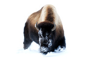 Bison (Bos bison) in the snow, Wyoming, USA