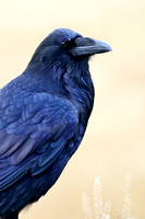 LIMITED EDITION Common raven (Corvus corax), Wyoming, USA