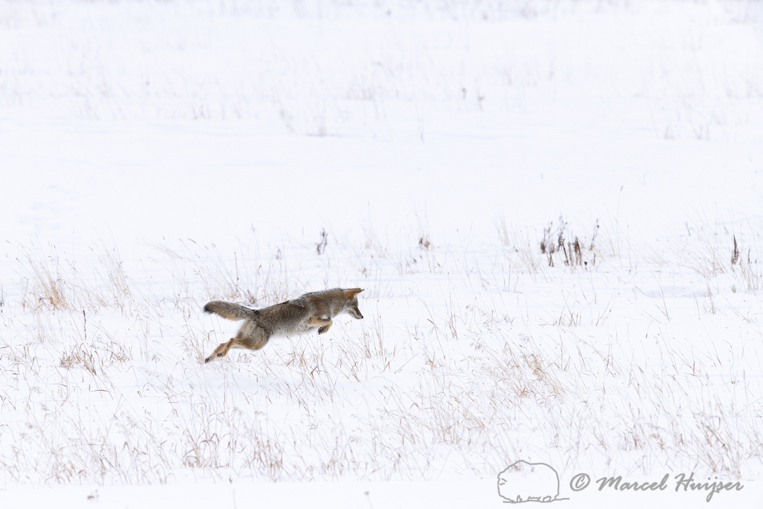 Coyote (Canis latrans) pounching, Yellowstone National Park, Wyo
