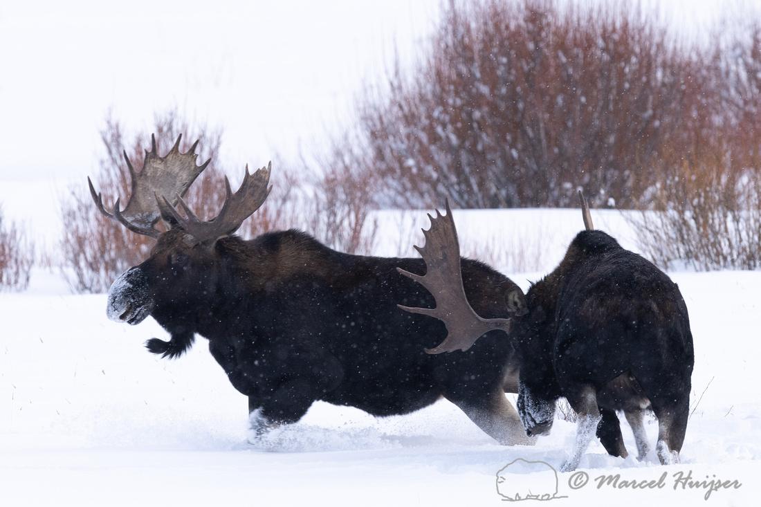 Bull moose (Alces americanus), Yellowstone National Park, Wyomin