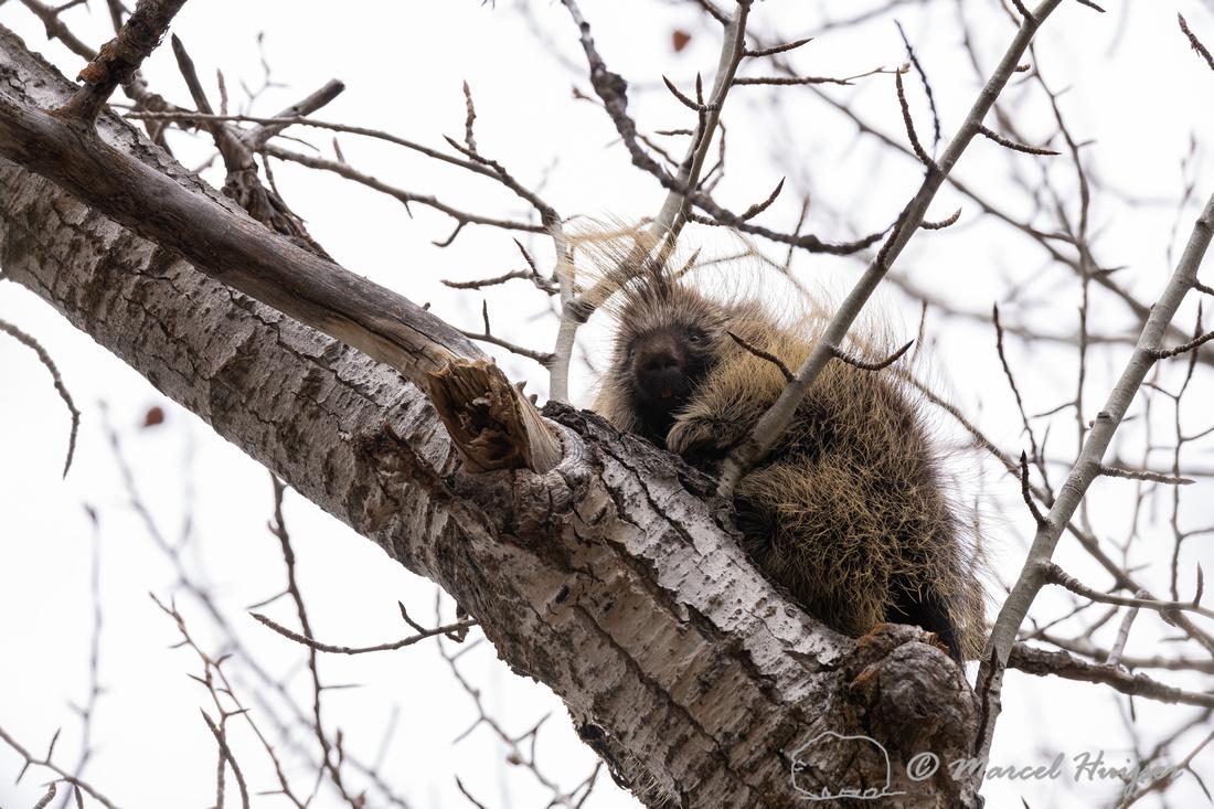 North American porcupine (Erethizon dorsatum), Montana. USA