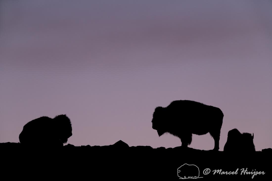 American bison  (Bison bison) on the ridge at sunrise, Yellowsto