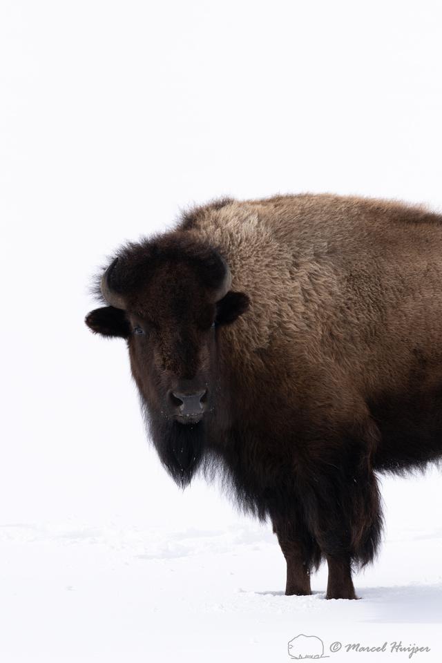 Bison (Bison bison), Yellowstone National park