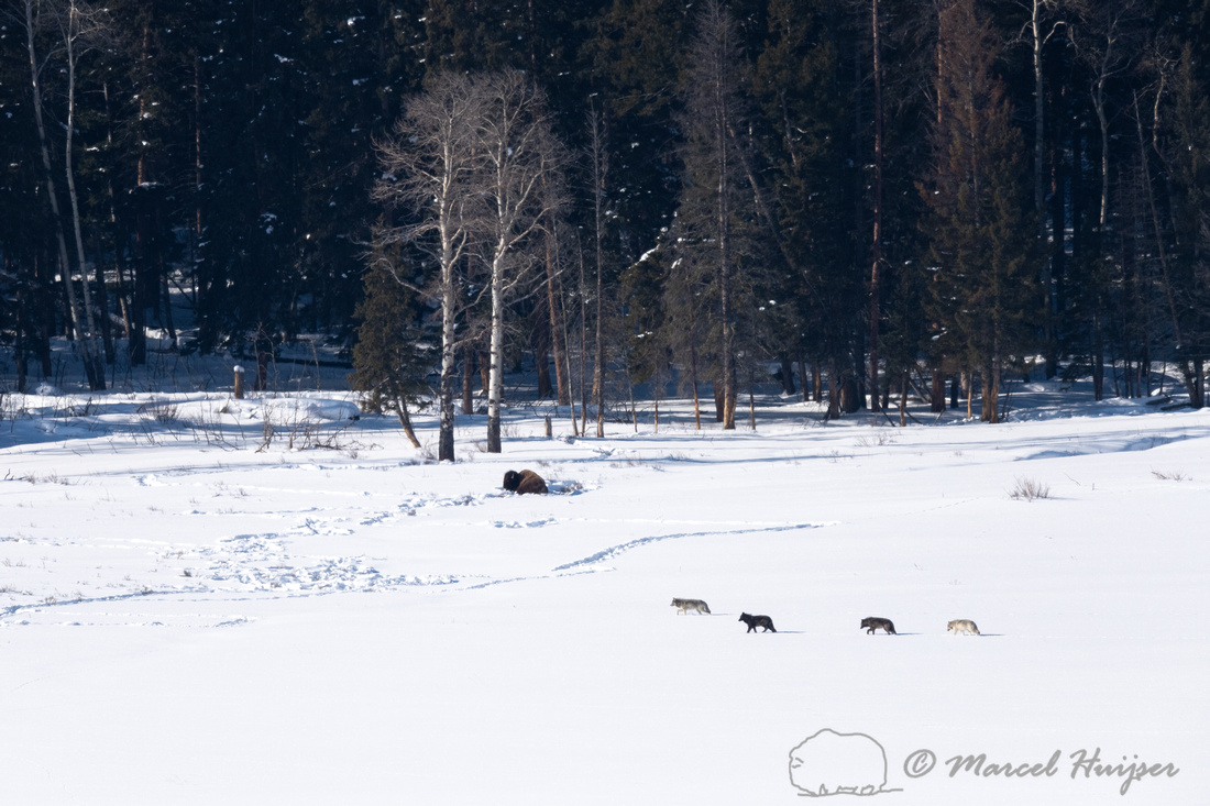 Wolves (Canis lupus), Yellowstone National Park, Wyoming, USA