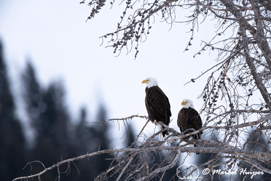 Bald eagle (Haliaeetus leucocephalus) pair, Yellowstone National