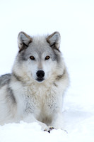 Wolf (Canis lupus) (captive animal), in snow, Montana, USA