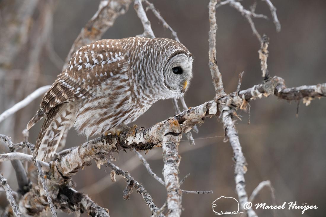 Barred owl (Strix varia), Montana, USA