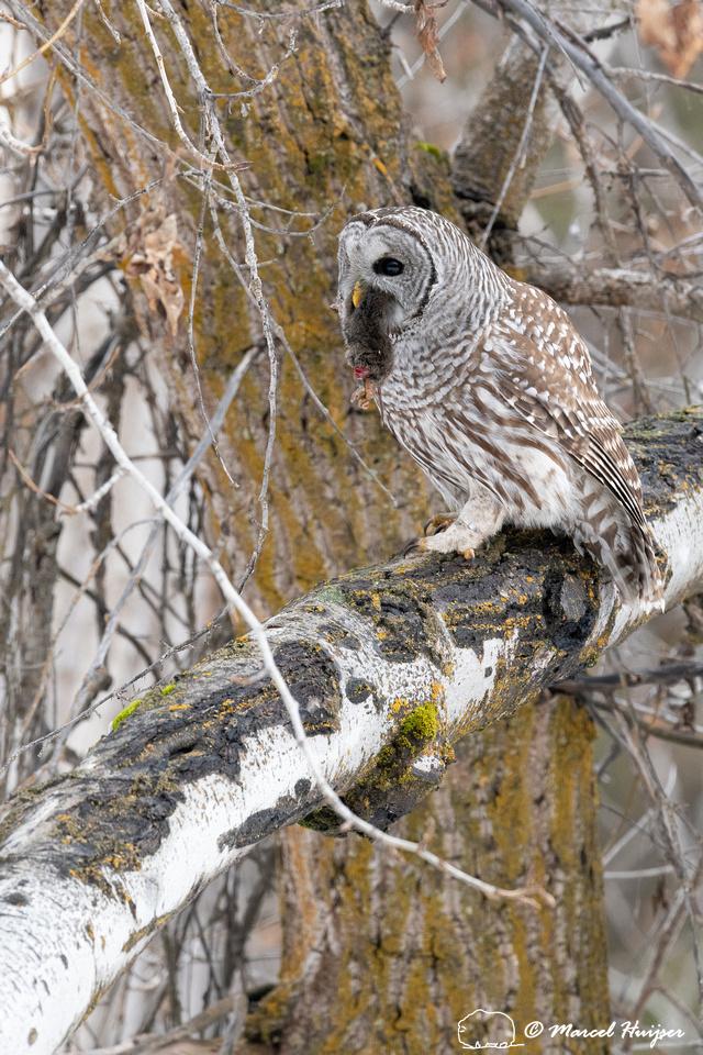 Barred owl (Strix varia) with vole, Montana, USA