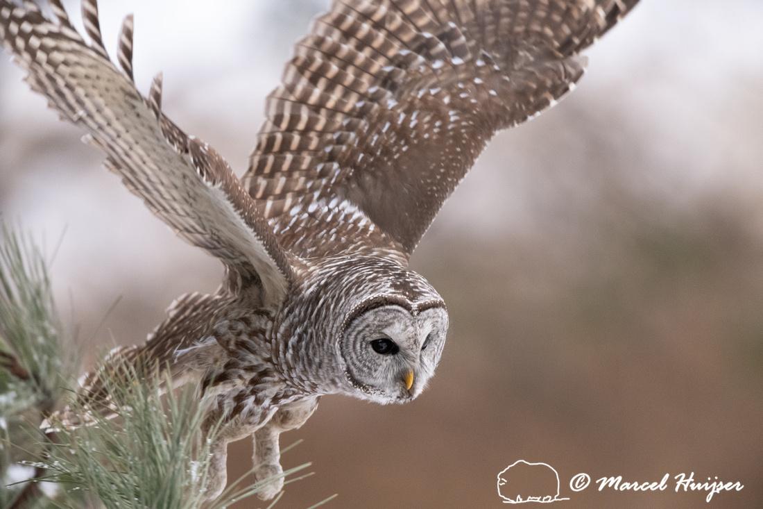 Barred owl (Strix varia) flying, Montana, USA