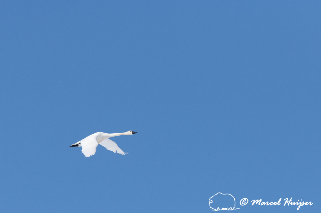 Tundra swan (Cygnus columbianus) migration, Montana, USA