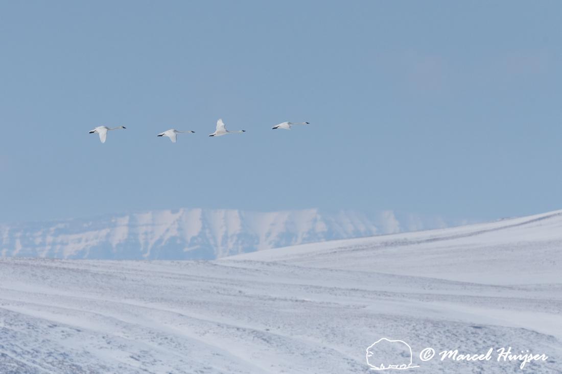 Trumpeter swan (Cygnus buccinator) migration, Montana, USA