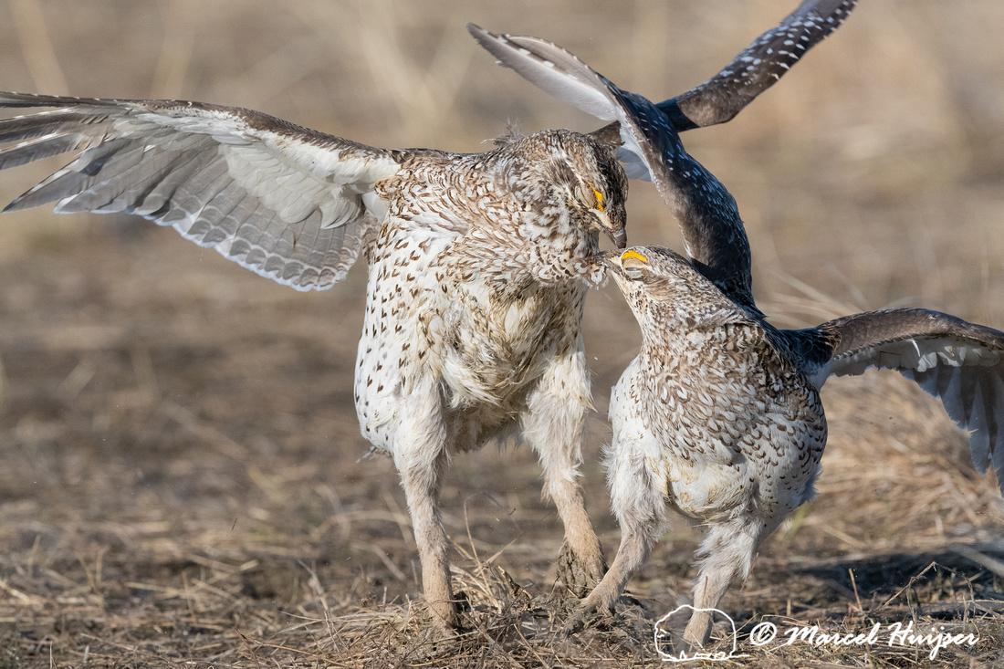 Sharp-tailed grouse (Tympanuchus phasianellus) fighting, Montana
