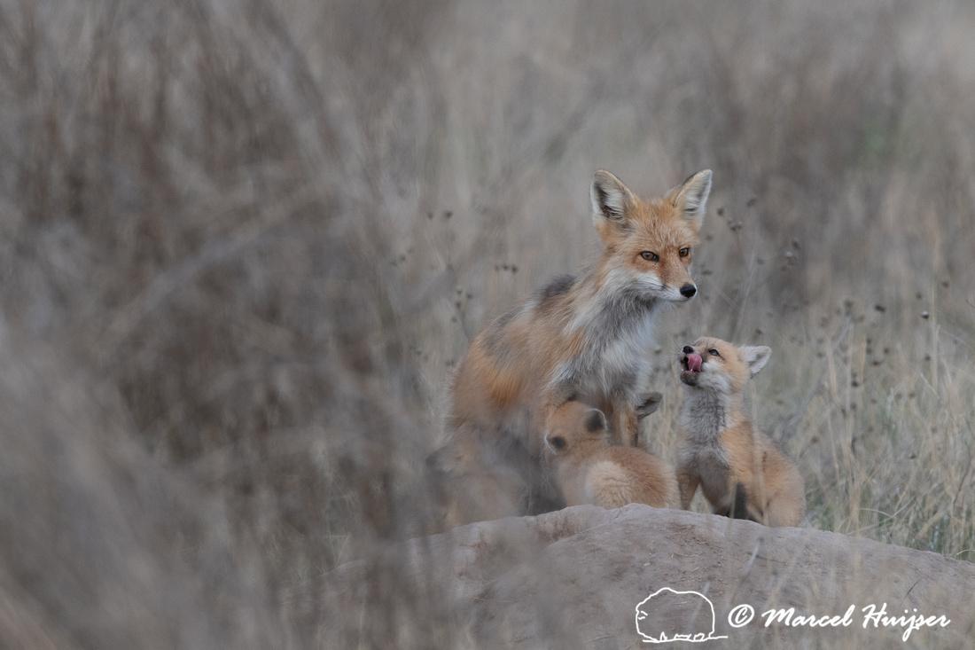 Red fox (Vulpes vulpes) female and kits, Montana, USA