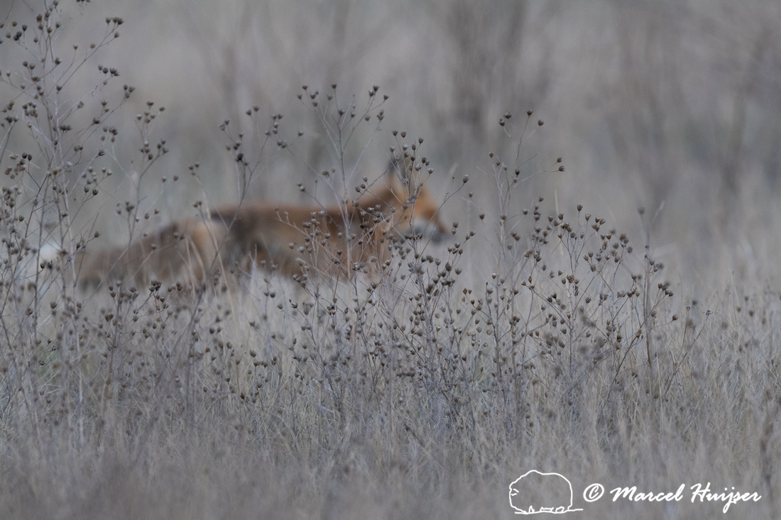 Red fox (Vulpes vulpes) male, Montana, USA