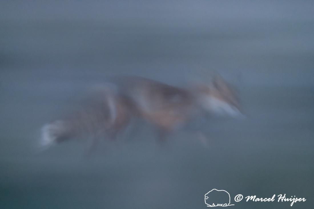 Red fox (Vulpes vulpes) vixen at dusk, Montana, USA